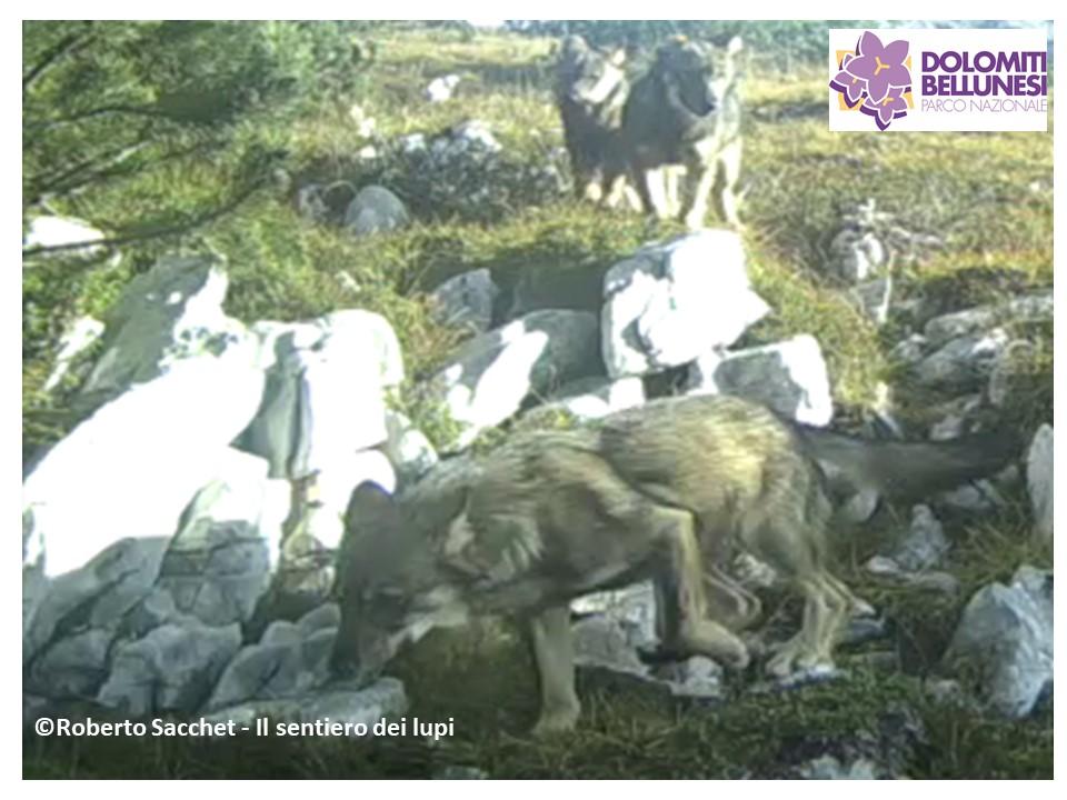 Cuccioli di lupo nel Parco Nazionale Dolomiti Bellunesi