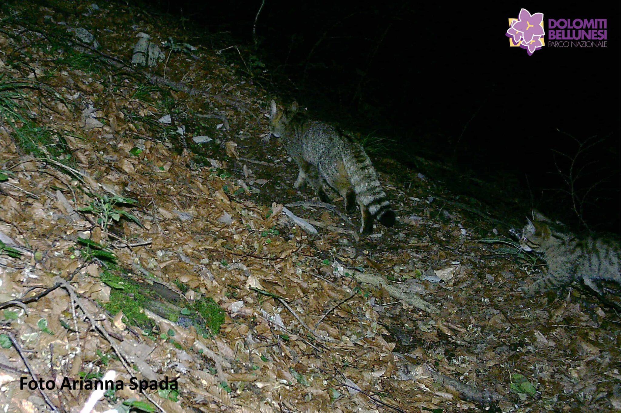 gatto selvatico Parco Nazionale Dolomiti bellunesi